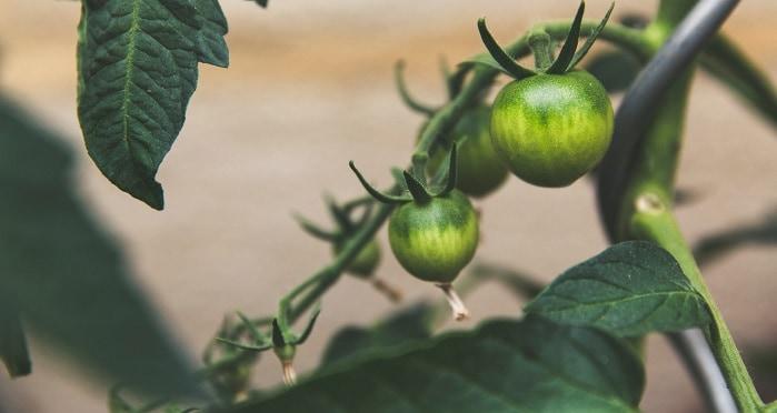 Fresh organic tomatoes. Madrid organic supermarket